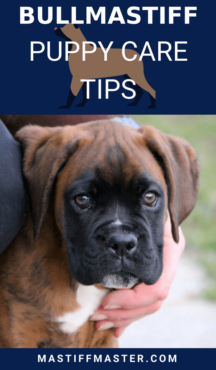 Bullmastiff Puppy Care Tips How Well