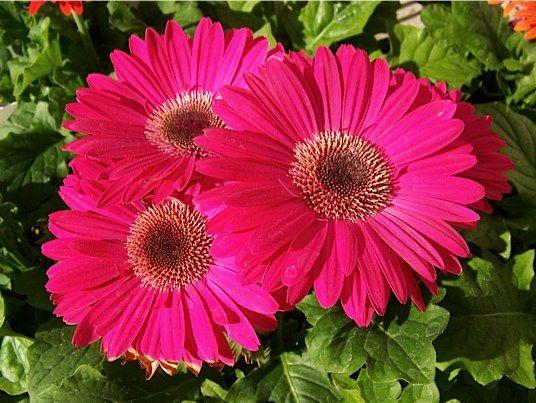 10 Houseplants To Improve Indoor Air Quality Gerbera Daisy Gerbera Pink Gerbera