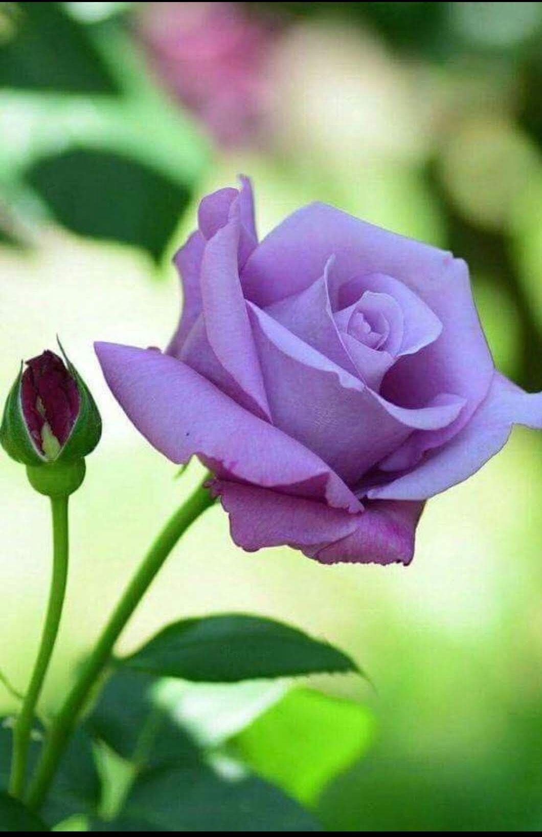 действия такой роза одна лиловая картинка кормить