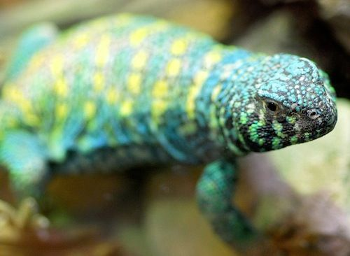 Ornate Uromastyx for sale - ornata | Lizards!!! | Reptiles ...