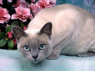 Tonkinese Pictures Information Training Grooming And Kittens Tonkinese Cat Cat Breeds Cute Cat Breeds