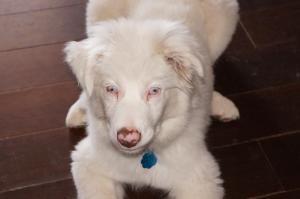 Cracker Is An Adoptable Australian Shepherd Dog In Conway Ar 5