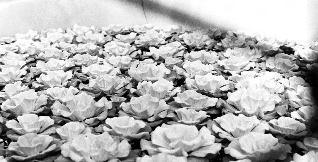 (minolta srt sc-ii, minolta 50 1.7, uxi efiniti 200) #flower #gardening #filmphoto #greyscale #analogue #uxiefiniti #minolta