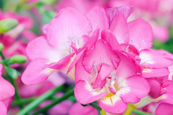 Freesia Meaning And Symbolism Ftd Com Freesia Flowers Plant Meanings Flowers