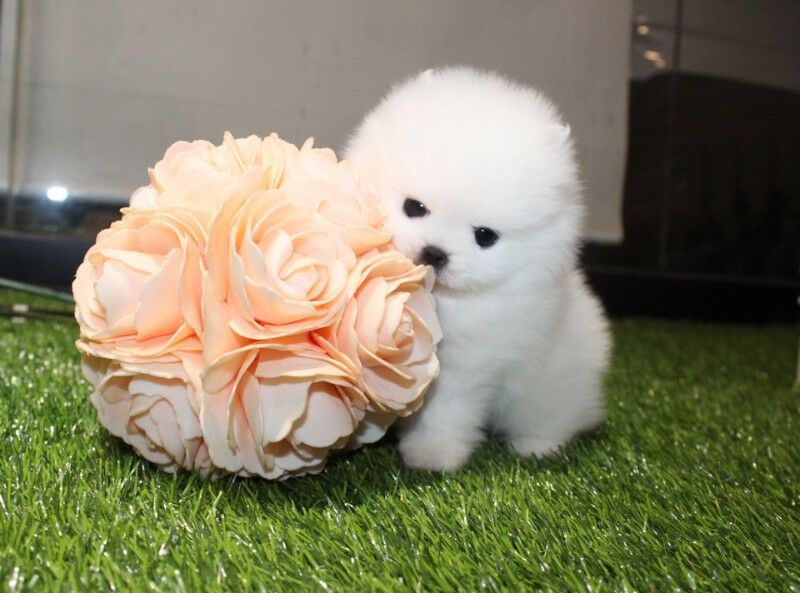 white teacup Pomeranian puppies Emailcupidpups4love