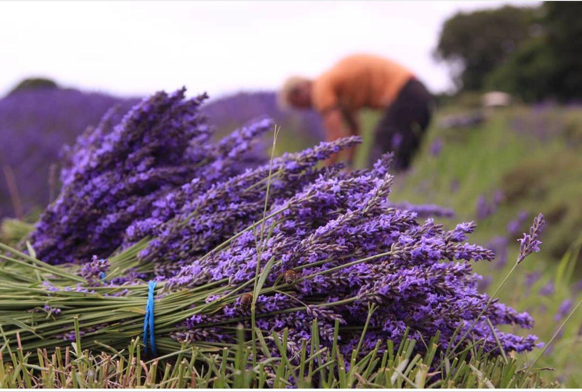 Fresh Lavender In 2020 Lavender Flowers Small Purple Flowers Lavender Wedding Bouquet