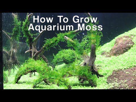 How To Grow Aquarium Moss- Christmas & Pellia Moss - YouTube | Aquarium, Moss, Aquascape diy
