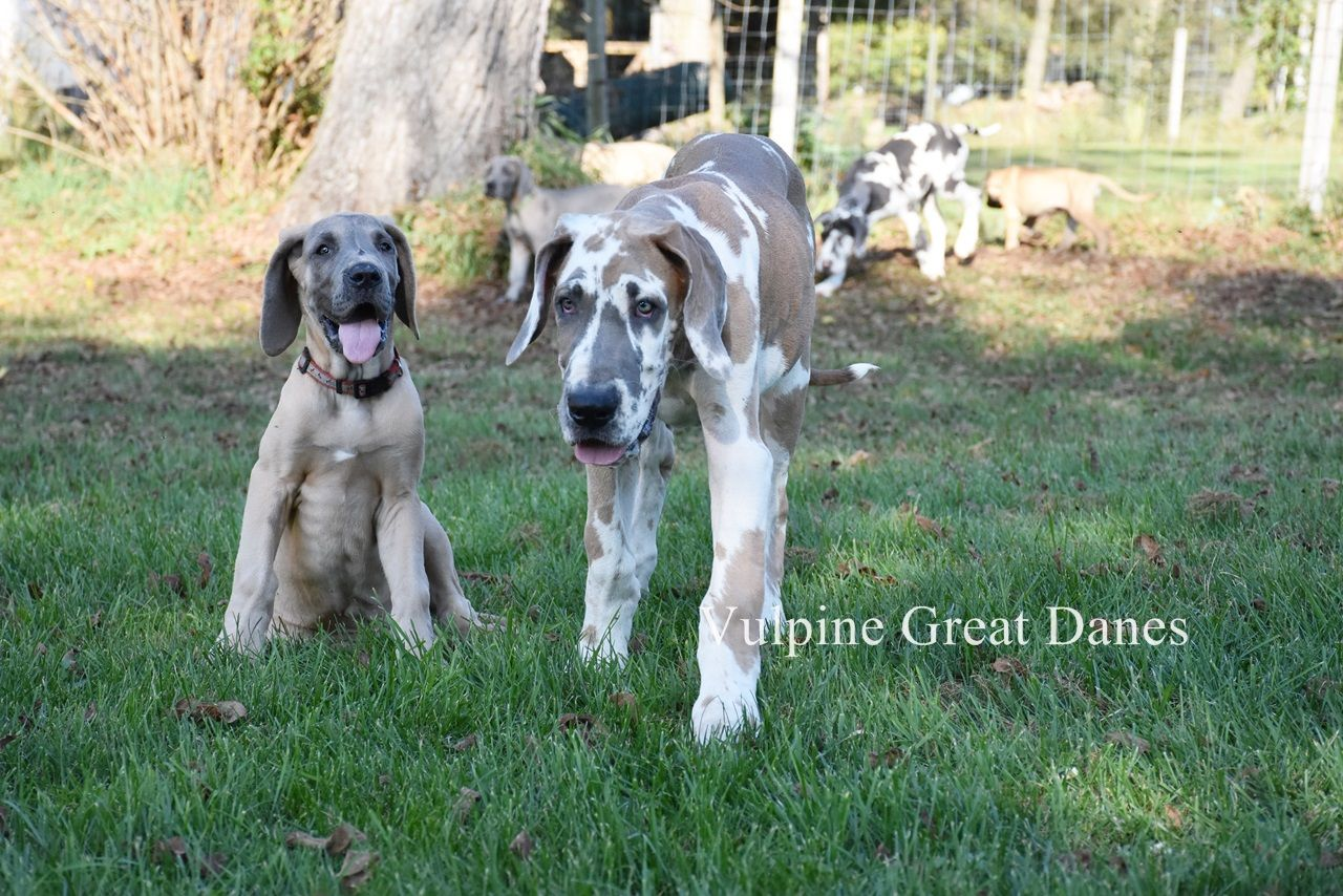 Blue Fawn Harlequin With Blue Fawn Harlequin Great Danes Great