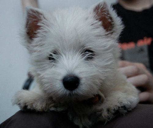 Such A Sweet Face I May Need Another Westie Cute Dogs