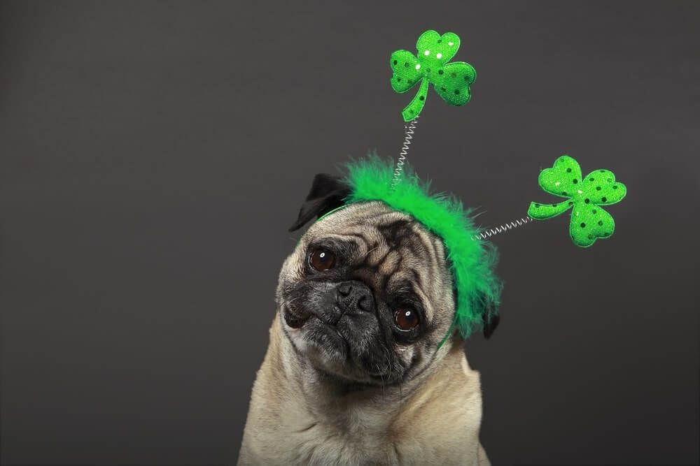 Funny St Patricks Day Pictures Image Free Download Pugs St
