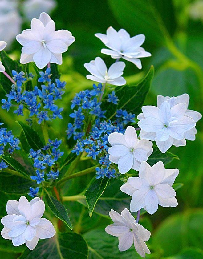 Hydrangea Macrophylla Hanabi Gortenzii Pinterest Hortensias - Flores-bonitas-para-jardin