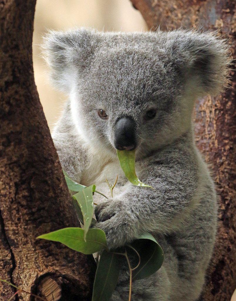Koala Duisburg Bb2a9003 Koala Tiere Niedliche Tiere Und Susse