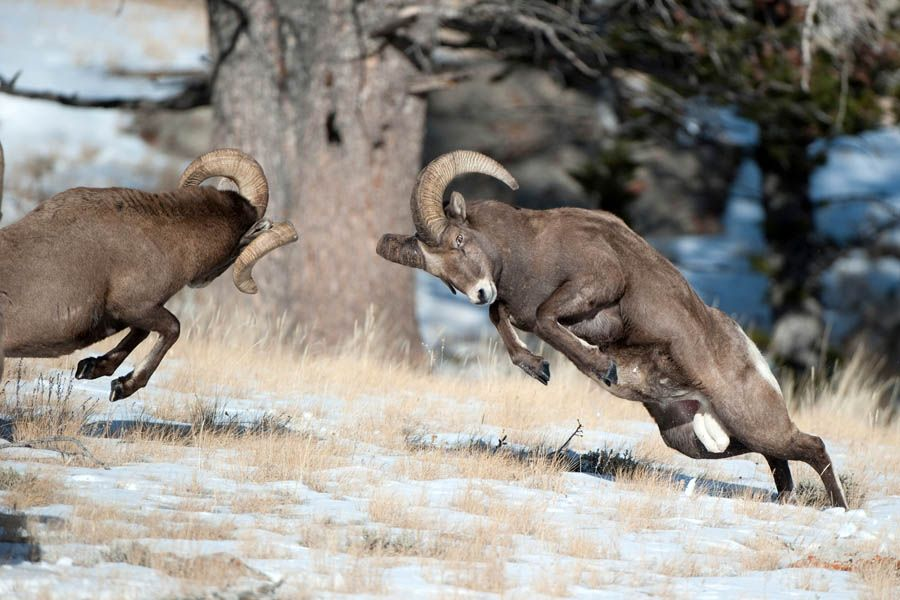Image result for bighorn sheep fighting