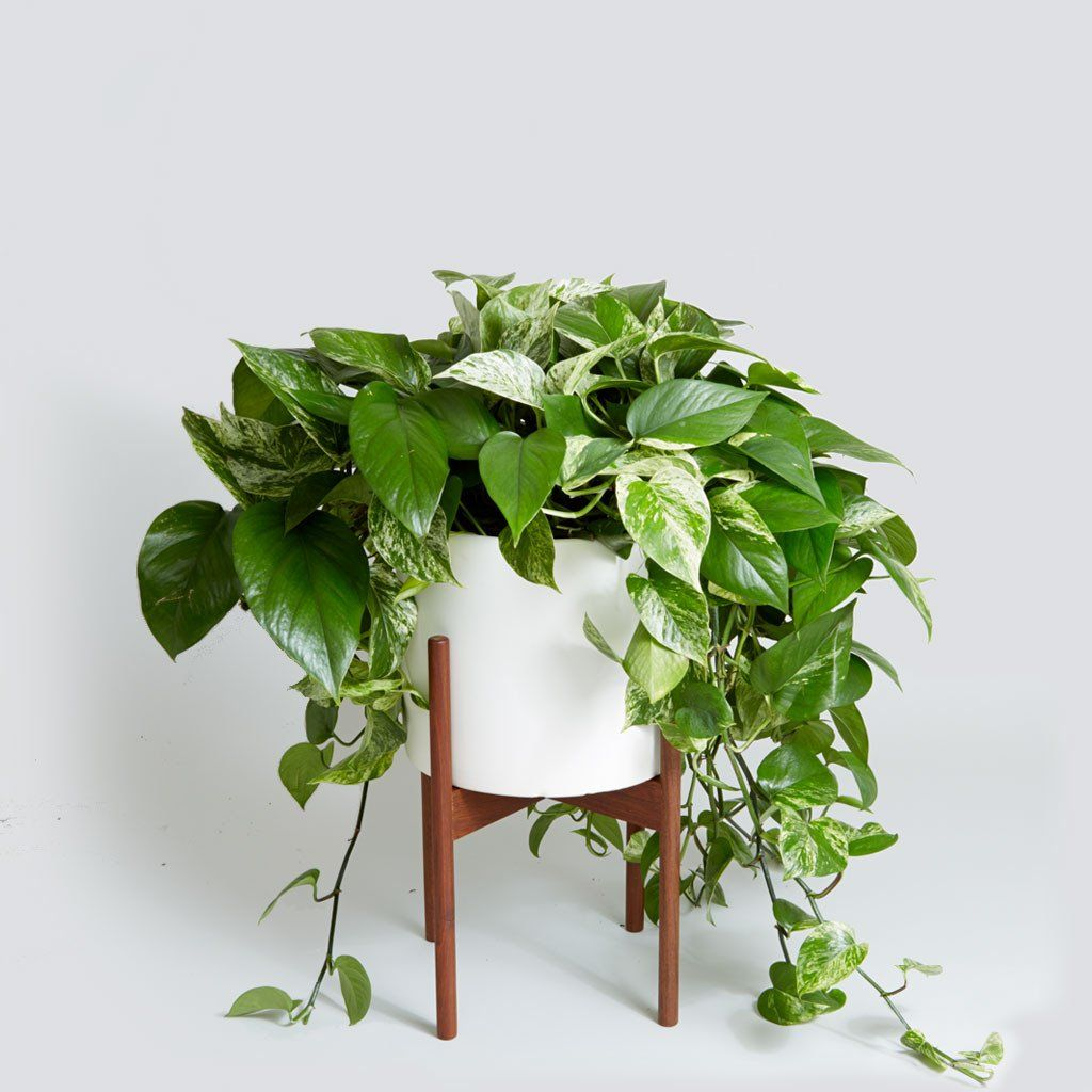 Marble Queen Pothos Best Indoor Plants Hanging Plants Indoor Plants