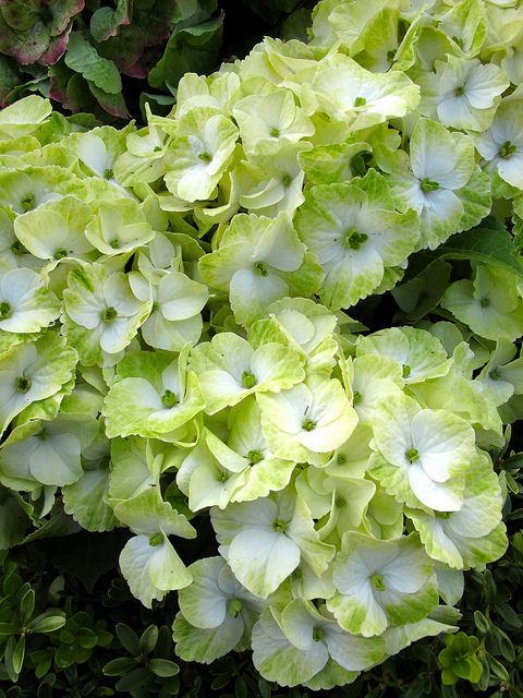 Hydrangea In Shades Of Lime Green And White Hydrangea Landscaping Hydrangea Planting Hydrangeas