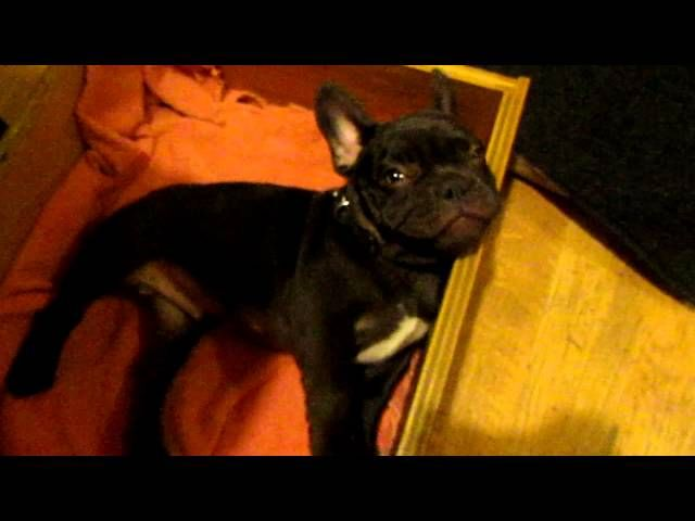 French Bulldog Puppy Arguing Over Bedtime Baby French Bulldog