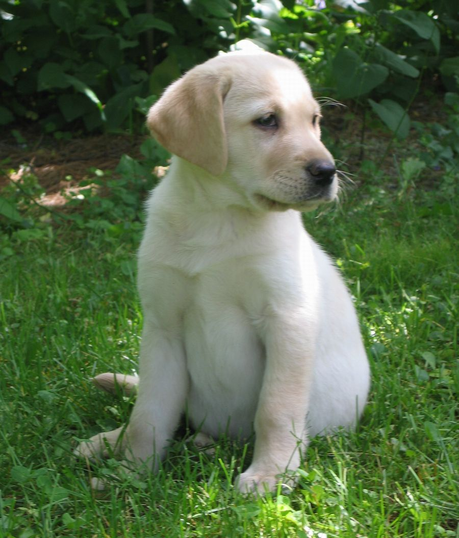 What Sawyer Looked Like As A Puppy Labrador Retriever Labrador