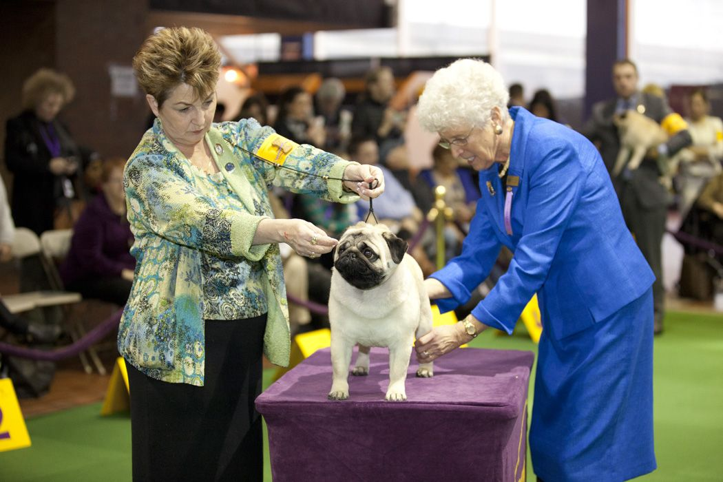 Pug Westminster Dog Show By Petcarerx Click Image To See More