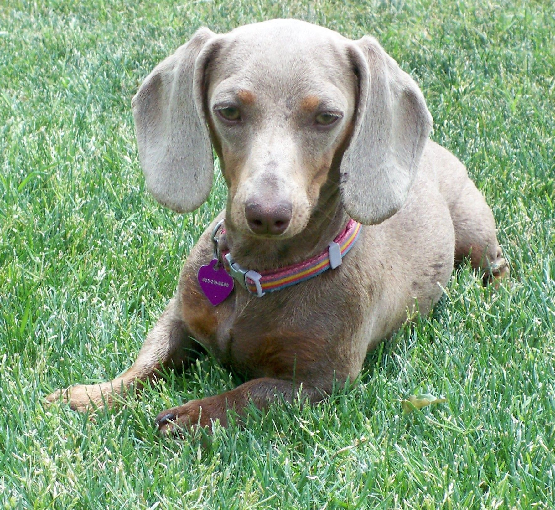 Abstract Spirit Nagual Dharma Luna Isabella Mini Dachshund Arizona
