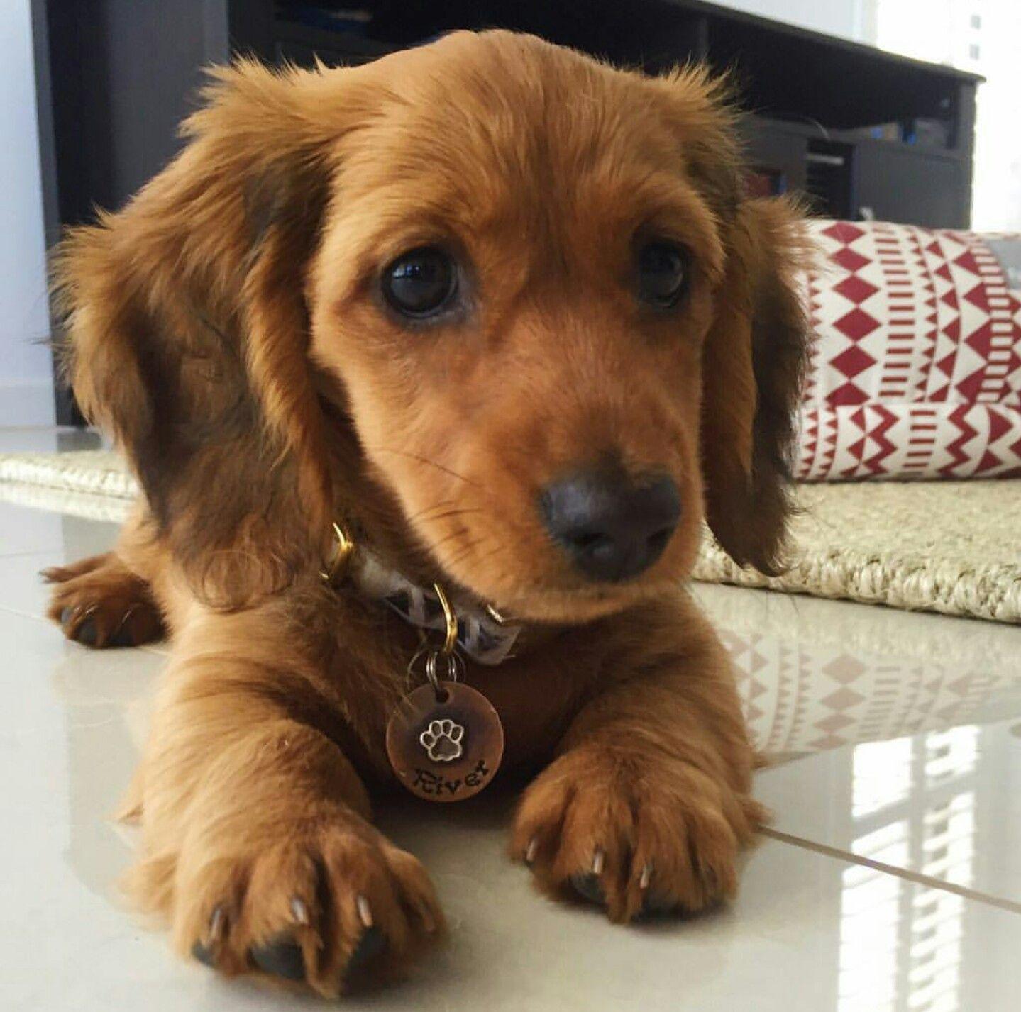 Beautiful dachshund puppy river_the_mini_dachshund