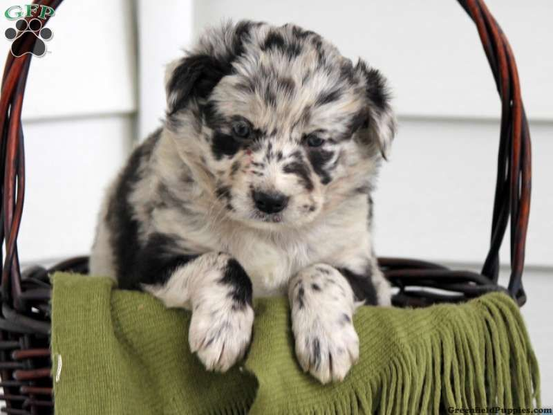 Meena Australian Shepherd Mix Puppy For Sale In Pennsylvania