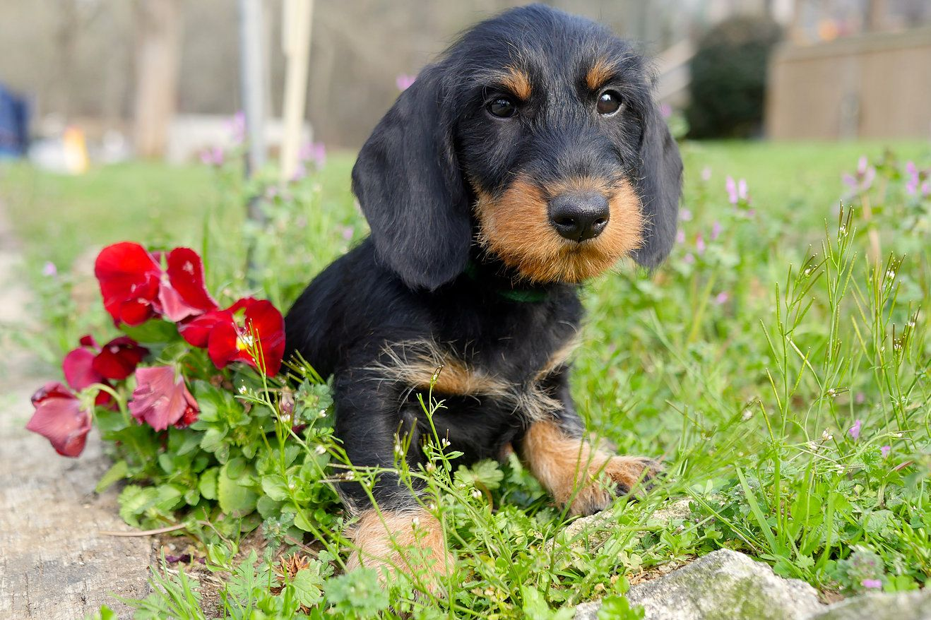 Willow Springs Volt Wire Haired Dachshund Dachshund Willow Springs