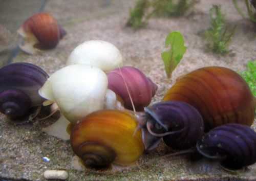 Snails how to recognize them aquatica pinterest for Fish tank snails