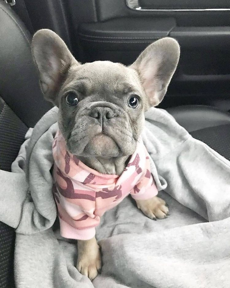 Cute puppy pictures blue french bulldog puppies bulldog