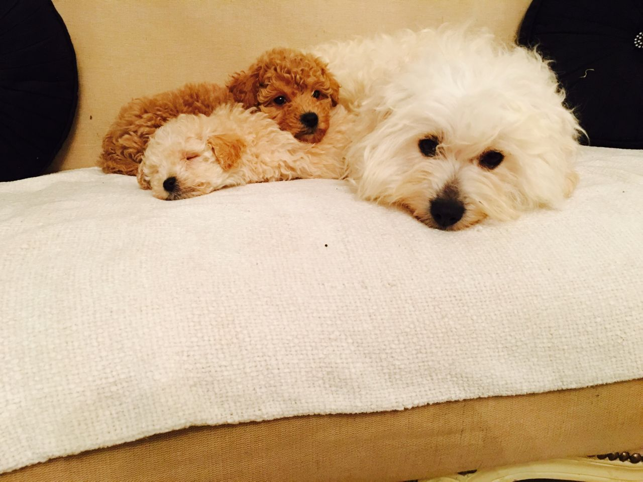 Stunning Cava Poochon Designer Puppies Puppies Poochon Puppies