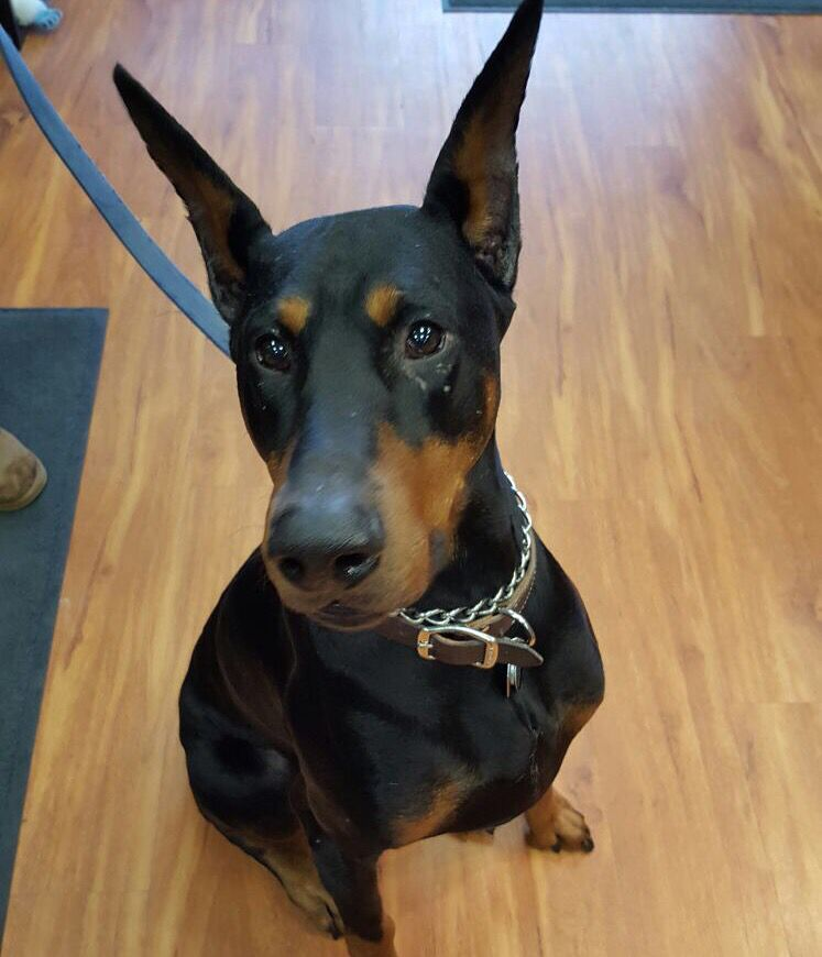 Anubis A 6 Year Old Doberman Doberman Anubis All Dogs