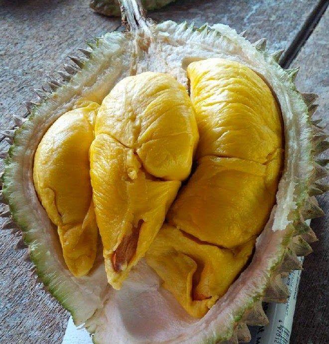Durian Musang King, Bibit Durian Musang King, Budidaya ...