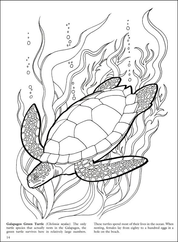 Great Barrier Reef Coloring Pages Turtle Coloring Pages Turtle Drawing Sea Turtle Drawing
