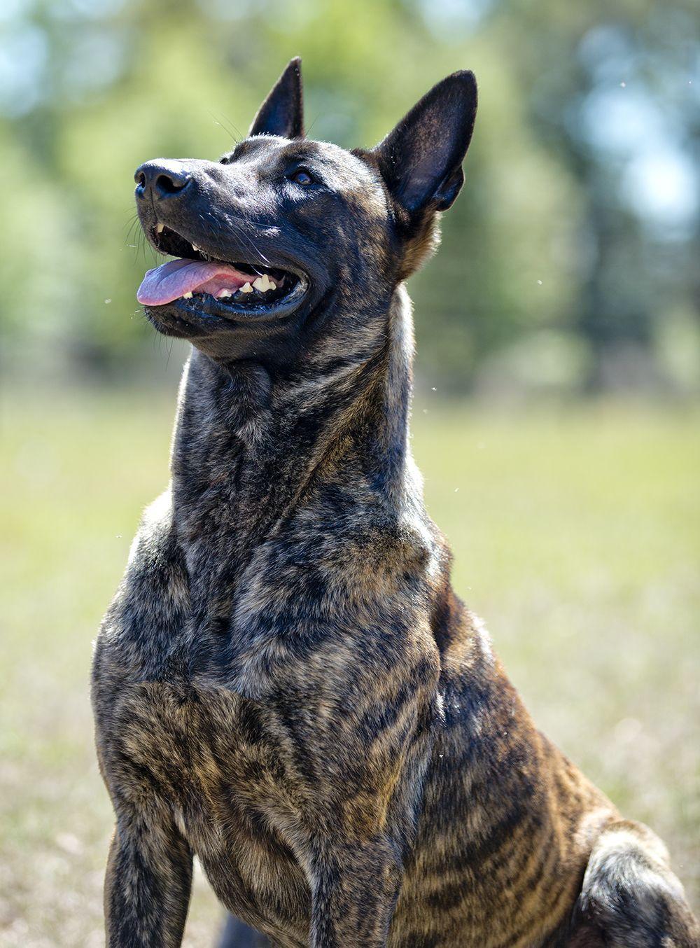 Pin by Kait on Dogs   Malinois puppies, Dutch shepherd dog ...