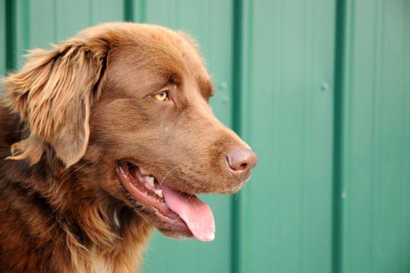 Golden Retriever Chesapeake Bay Retriever Mix Seriously Love I