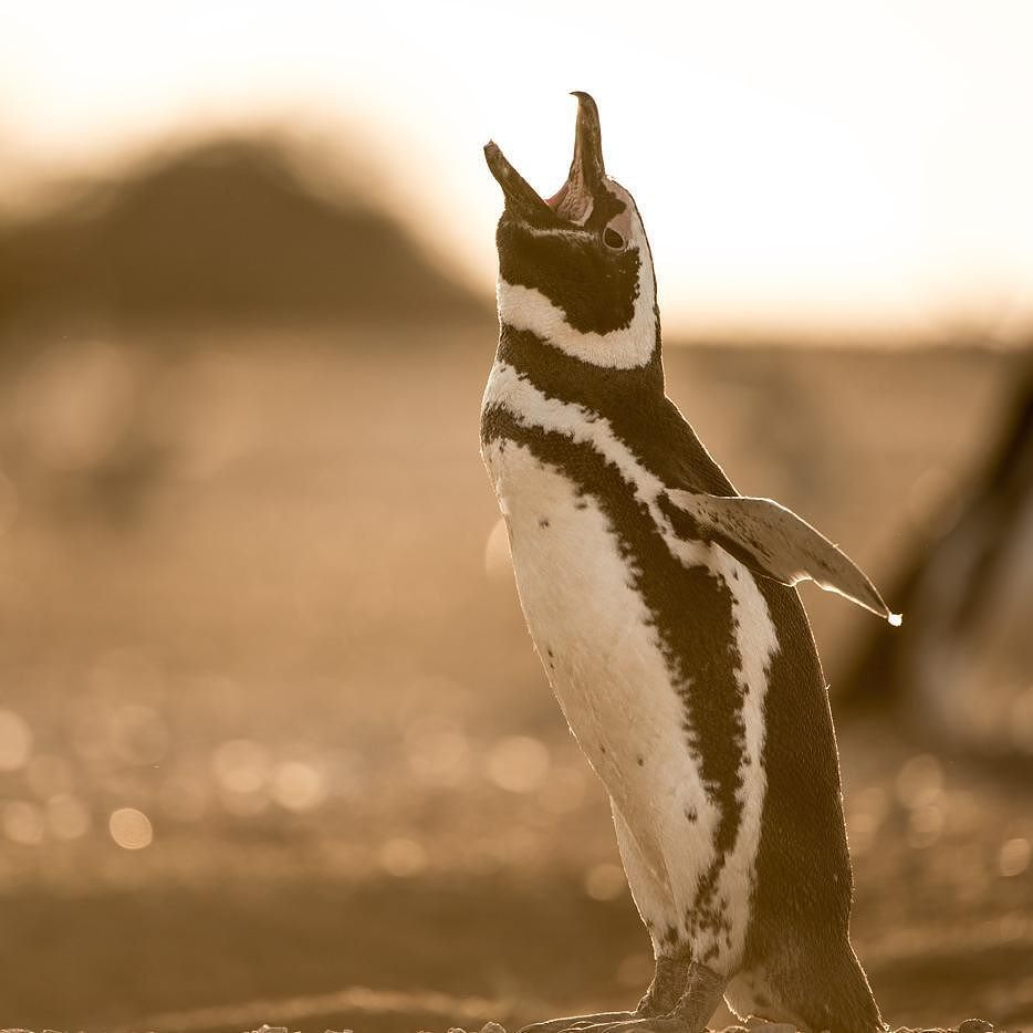 Image by John Brown.  As the sun begins to set on the Punta Tombo the winds subside.  At this time the Magellanic penguins that have spent the day feeding journey back to their nests in the Patagonian Steppe. Magellanic Penguins are known for their distinctive calls and when the lifelong pairs are reunited a cacophony of sound ensues.  Photographed during the making of Patagonia: Earth's Secret Paradise - Patagonia is a mysterious and remote South American wilderness sparsely populated and…