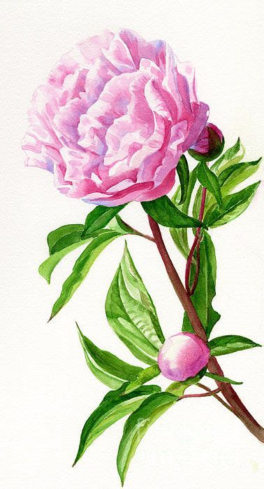 Pink Peony With Leaves Poster By Sharon Freeman