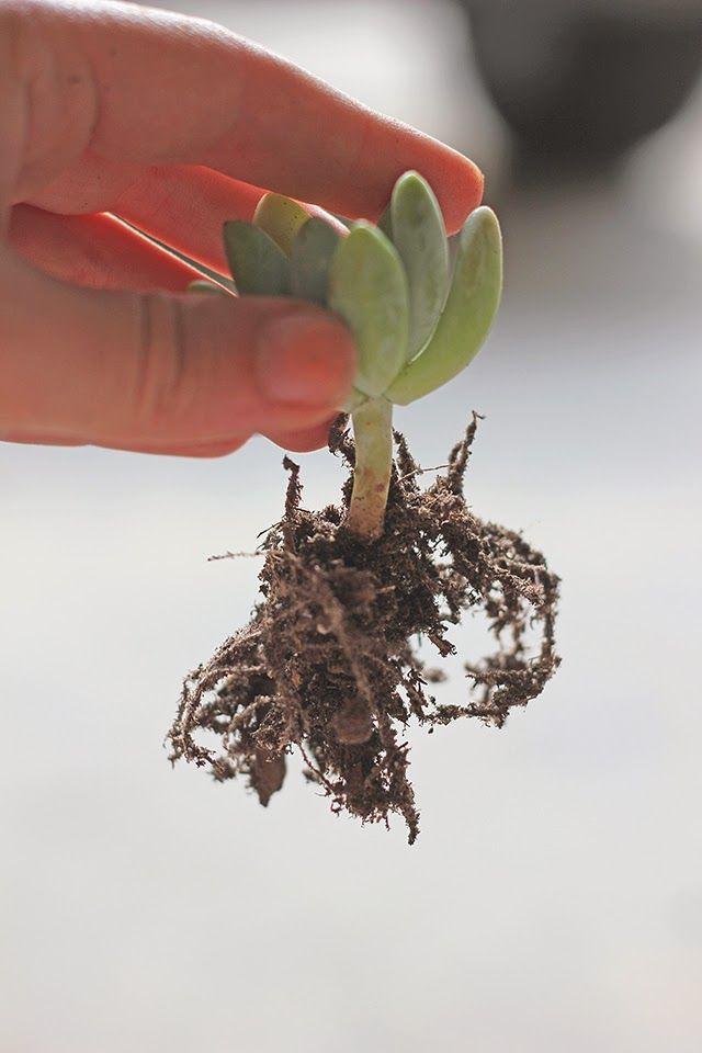 How To Repot Succulents Hello Hydrangea Replanting Succulents Repotting Succulents Planting Succulents