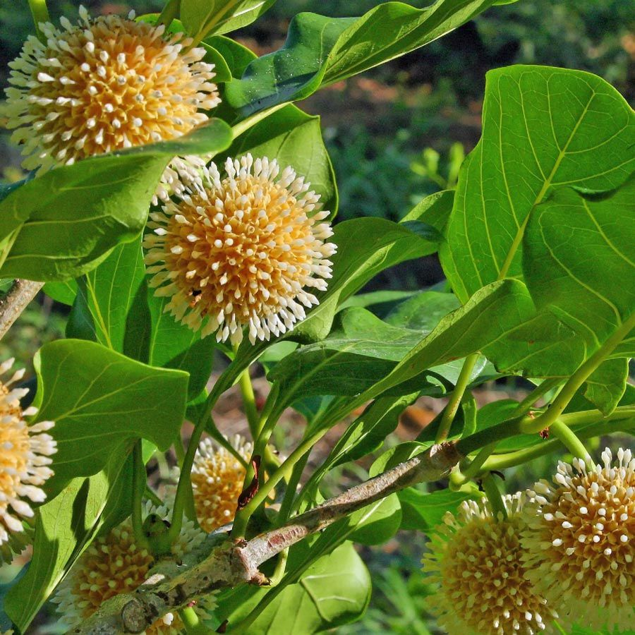 Nauclea Orientalis Plants Deciduous Trees Flowering Trees