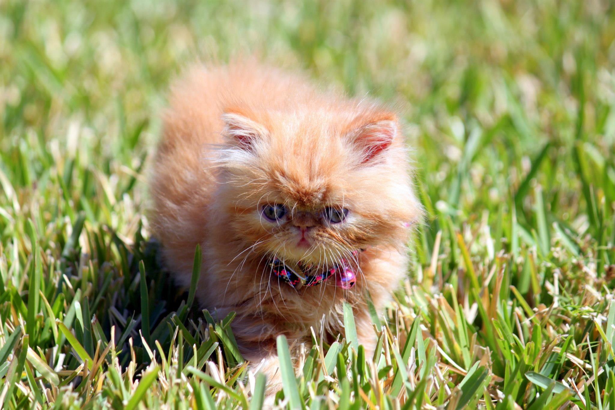 Ginger, an orange persian cat. Orange persian cat, Cute