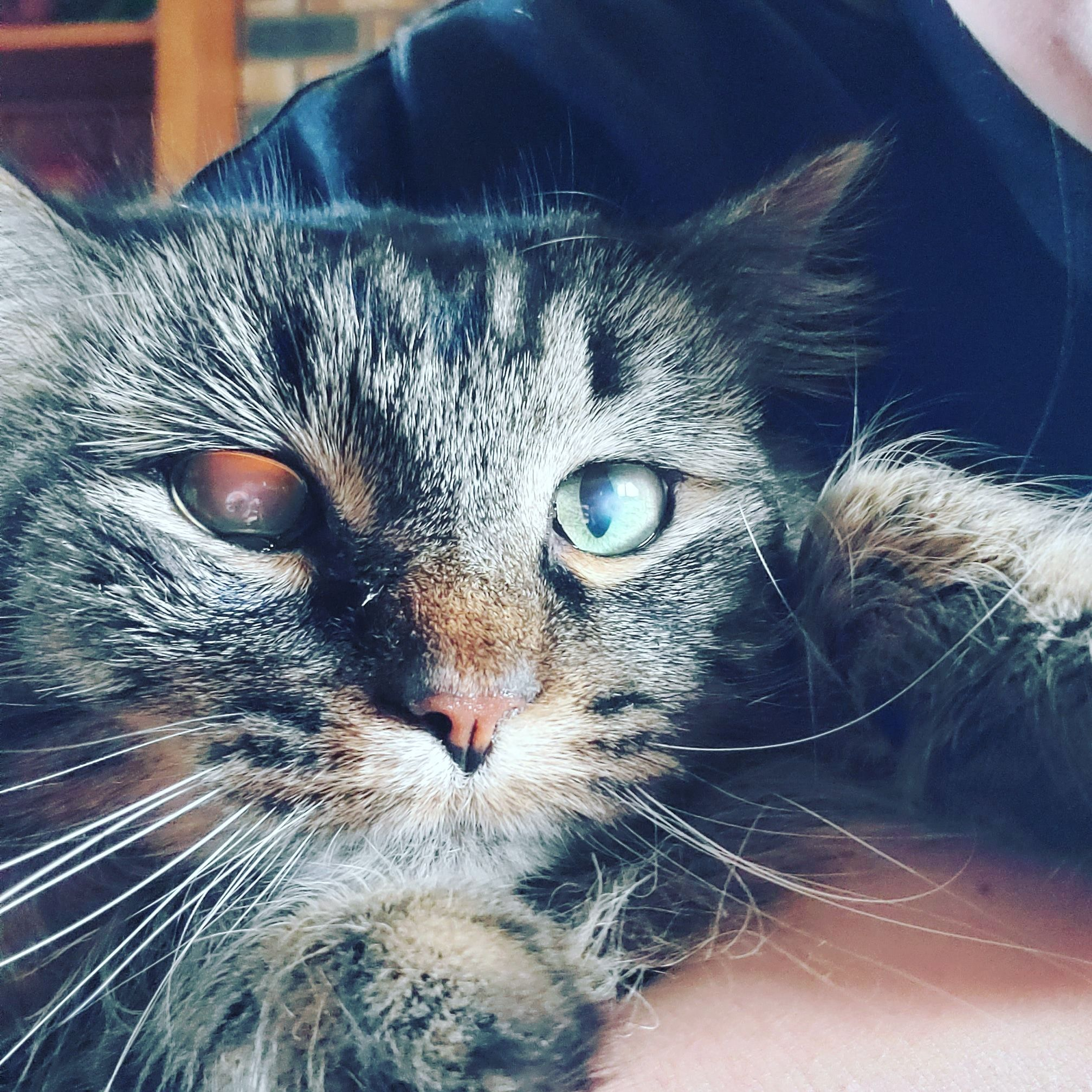 herpetic corneal ulcers in cats