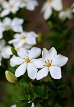 Tips For Taking Good Care Of Gardenia In Winter Gardenia