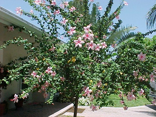 Weeping Hibiscus Tree Hibiscus Tree Tropical Landscaping Hibiscus
