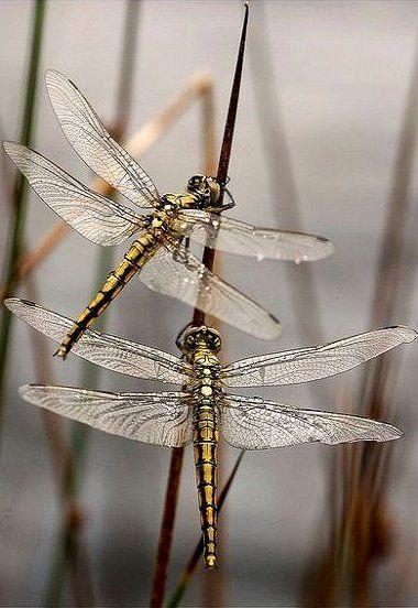 Golden dragonflies...!