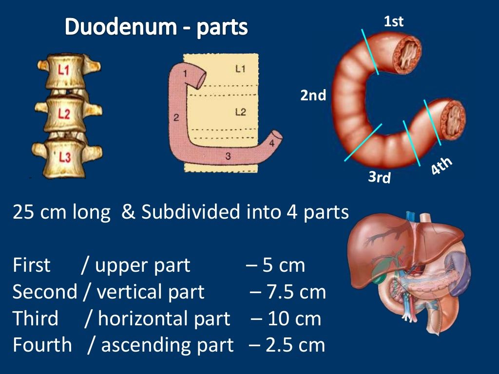 Duodenal Papilla Opening Of Hepatopancreatic Duct Into Duodenum