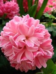 Hyacinth, gorgeous flower