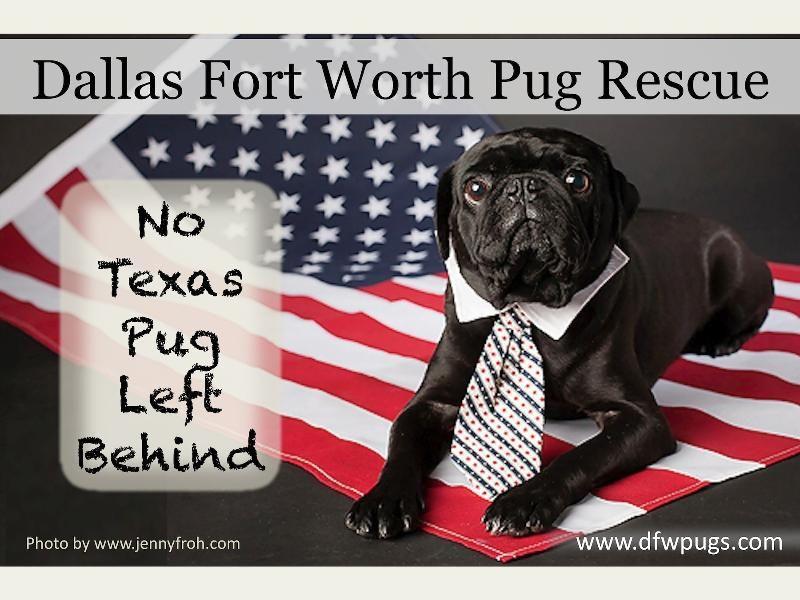Dfw Pug Rescue Pug Rescue Pugs Pug Love