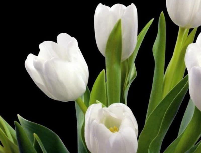 33 Gambar Bunga Tulip Yang Sedang Mekar 40 Gambar Bunga Cantik Indah Bagus Comel Foto Download Bunga Tulips Steemit Download Ap Di 2020 Bunga Tulip Bunga Mekar
