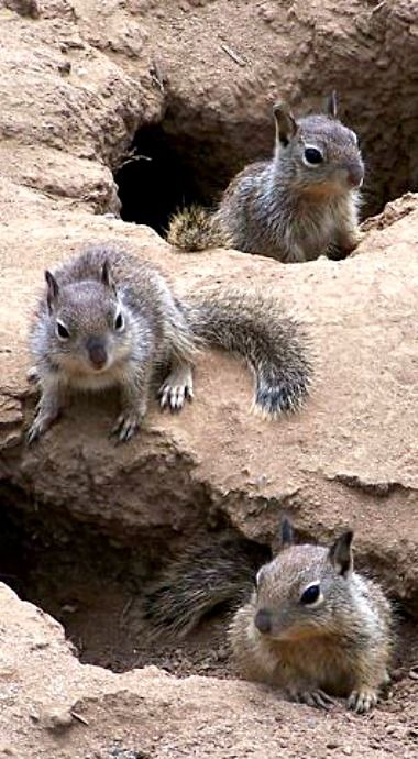 Ground Squirrel A Mid Sized Rodent Which Generally Lives On Or In The Ground The Larger Ones Are More Commonly Known As M Chipmunks Squirrel Cute Animals