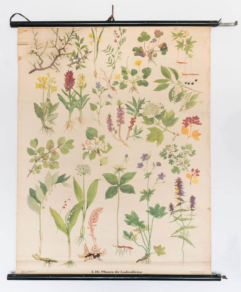 antike lehrtafel lehrkarte biologie die pflanzen der laubwaldwiese1950er 1960er in antiquit ten. Black Bedroom Furniture Sets. Home Design Ideas