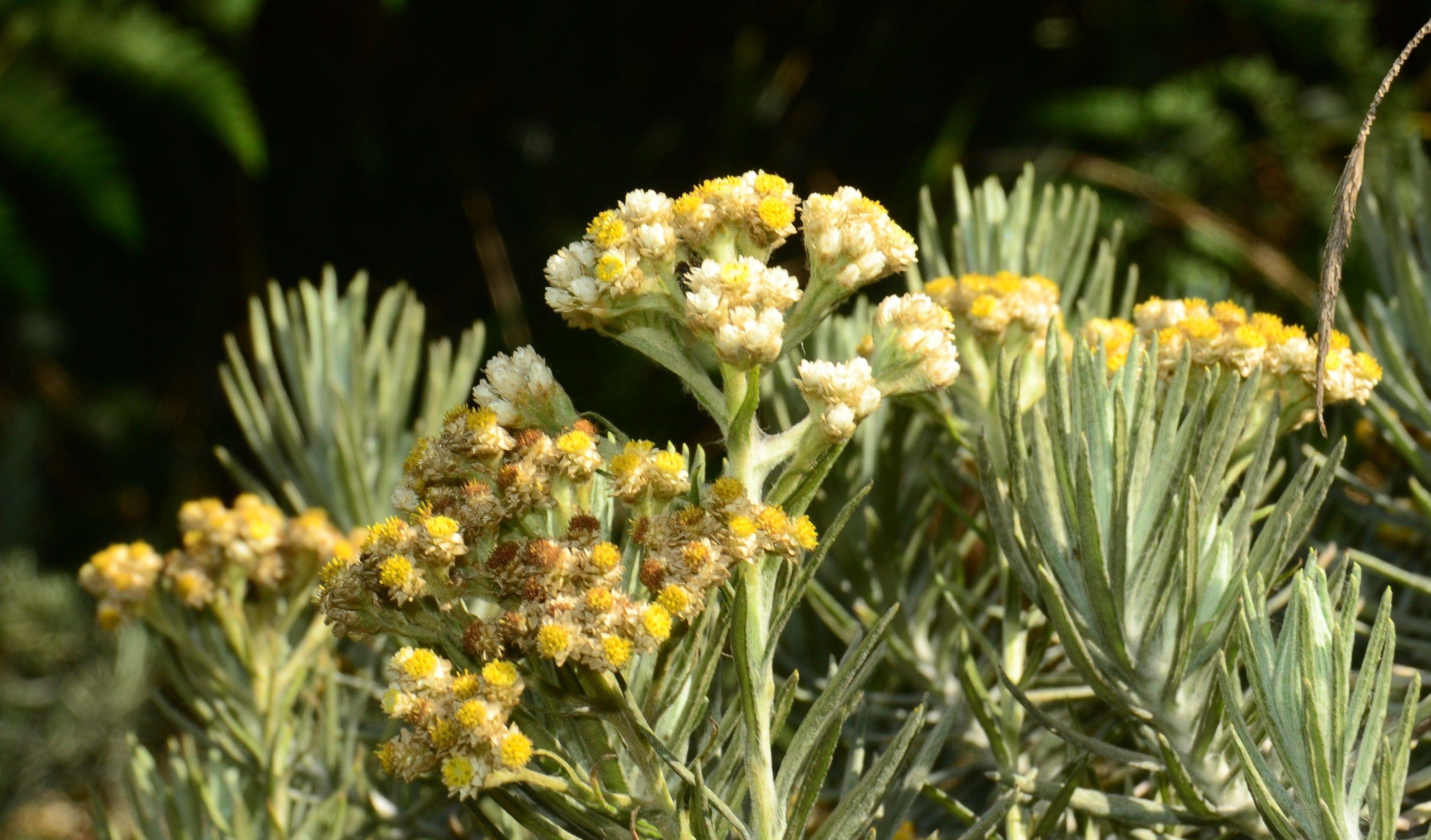 Anaphalis javanica (Edelweiss Jawa) adalah tumbuhan